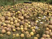 Pagube uriase in vestul tarii. Grindina si furtunile au distrus 100.000 de hectare cultivate: