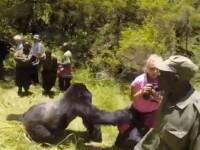 A mers cu sotul intr-un safari in luna de miere, dar a trait un soc. Ce s-a intamplat cand s-au intalnit cu o gorila. VIDEO