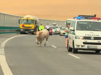 Aparitie bizara pe o autostrada din Slovacia. Cum a aparut taurul in mijlocul traficului