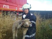 Interventii inedite pentru pompierii din Timis. Doi pui de barza si un miel, salvati de angajatii ISU