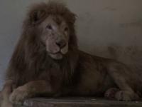 Animalele de la Circul Globus au ajuns la parcuri zoo din tara. Cum s-au adaptat la noua viata leul Leo si camilele