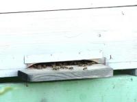 Un bărbat și-a pierdut viața, după ce a fost atacat de albine, la Vaslui