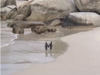 """Plimbarea """"romantică"""" a doi pinguini, pe o plajă Africa de Sud. VIDEO"""