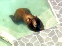 Un urs a intrat în piscina unor americani pentru a face baie