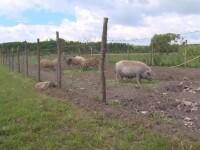 Cum va arăta gardul pe care bulgarii îl construiesc la graniţa cu România, de teama pestei porcine