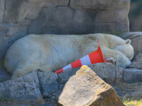Urs polar împușcat mortal, după ce a atacat un paznic