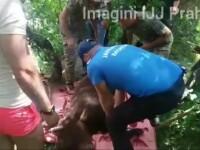 Un urs captiv într-o grădină a fost prins de picioare cu corzi, până când a fost eliberat