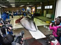 Japonia a reluat în mod oficial vânătoarea de balene, după o pauză de 31 de ani