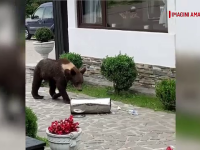 Turişti terorizaţi de urşii gunoieri, în mai multe staţiuni. Animalele nu se tem de nimic