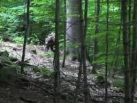Noi incidente cu urși ajunși în zone locuite. Un bărbat a fost atacat pe câmp