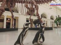 Imagini inedite. Doi pinguini, în vizită la un muzeu de istorie a naturii