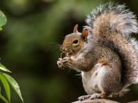 O veveriţă a fost testată pozitiv cu ciumă bubonică în statul american Colorado