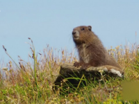 Un adolescent din Mongolia a murit de ciumă bubonică, după ce a mâncat carne de marmotă