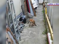 O vulpe rătăcită prin Braşov le-a dat de lucru jandarmilor
