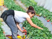 Cu câți bani se va întoarce în țară o româncă după o lună de muncă la o fermă din Germania