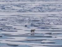Urșii polari ar putea dispărea până la sfârșitul secolului. Cum pot fi salvați