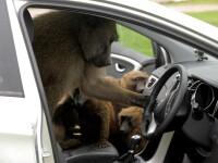Babuinii dintr-un parc safari din Anglia au fost văzuți înarmați cu șurubelnițe, cuțite și chiar un ferăstrău