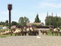 Un sat din Rusia se confruntă cu o invazie de cămile