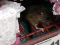 Șoarece care mânca ciocolată, pe rafturile unui hypermarket din Cluj-Napoca. Reacția retailerului | VIDEO