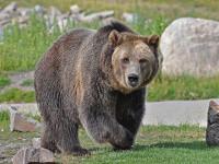 Activiștii de mediu au găsit soluția împotriva atacurilor urșilor: gardurile electrice