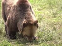 Urs filmat alergând pe bulevardul central din Brașov. Animalul s-a speriat de mașina care îl urmărea. VIDEO