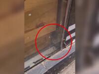 Încă un șoarece a fost surprins în covrigăria din Galați, deși ANPC a obligat proprietarul să curețe locul