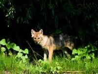 Primarii cer voie ministerului Mediului să poată vână şacalii din Delta Dunării. S-au înmulțit necontrolat