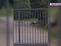 VIDEO. Ursoaică cu pui, filmată cum se apropie periculos de mult de camioanele ce trec în mare viteză pe DN 1A