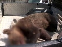 Ursoaica salvată dintr-un laț, în Gorj și dusă departe, în munți. Polițiștii îl caută pe cel care a pus capcana