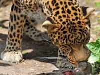 Un leopard ratacit in jungla urbana din India l-a scalpat pe un trecator si l-a ucis pe un al doilea