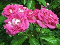 Daca nu renteaza sa cultivati rosii sau cartofi, incercati cu trandafiri!
