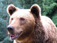 Si ursii din Japonia sunt rai! Unul a atacat noua turisti