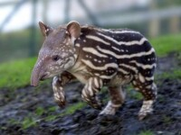Uite-o pe Maja, puiul de tapir!