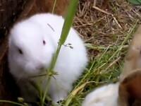 Mutantii Japoniei: Un iepure fara urechi s-a nascut langa Fukushima VIDEO