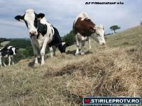 Afacere pornita cu 10.000 de lei. Sute de someri din Iasi ies din criza cu vacile Eco
