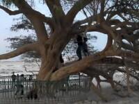 Mister in mijlocul desertului. Pomul care creste fara apa. VIDEO