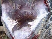Dantura unui monstru de 600 de kilograme si 2 metri lungime i-a fascinat pe oamenii de stiinta
