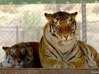 Thriller, tigrul lui Michael jackson, a murit de cancer pulmonar la varsta de 13 ani