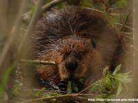 Castorul s-a intors dupa 200 de ani in Romania. Ce alte specii disparute au revenit in tara noastra