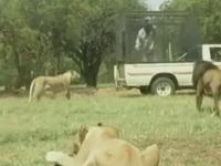 O turista americana a fost omorata de un leu, in fata sotului ei. Cei doi vizitau un parc zoologic din Africa de Sud