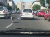Politistii au identificat persoana care si-a legat cainele de masina si l-a tarat in trafic. Ce explicatie a dat soferita