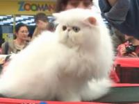 Avertisment pentru proprietarii de pisici. Ce spun medicii alergologi despre blana felinelor