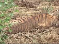 Scene de cosmar in capitala Georgiei. Un barbat a fost ucis de un tigru evadat de la Gradina Zoologica din Tbilisi