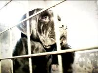 Cei patru caini Cane Corso, care au mancat de viu un barbat, terorizau intreaga localitate. Cum au scapat animalele pe strada