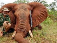 Raspunsul uluitor al unui parlamentar australian, acuzat ca a vanat un elefant in Zimbabwe.