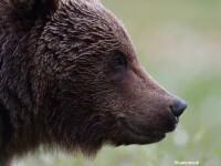 Un urs este suspectat ca a atacat doua persoane, in Brasov. Localnicii recunosc insa ca ei i-au invadat teritoriul