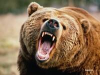 Adolescenta de 13 ani, ranita de un urs care a sarit pe cort, la Busteni. Motivul pentru care animalele au devenit agresive