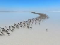 Sute de pasari flamingo au iesit din cuiburi pe lacul sarat, Tuz Golu, din Aksaray, in Turcia