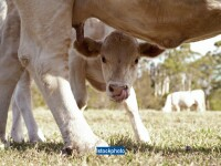 Indienii cred ca sunt martorii unei minuni divine, dupa nasterea unui vitel cu malformatii. VIDEO