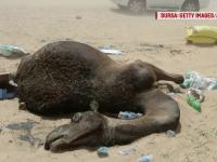 15.000 de camile, victime in scandalul dintre Arabia Saudita si Qatar. Animalele, blocate zile intregi fara mancare si apa